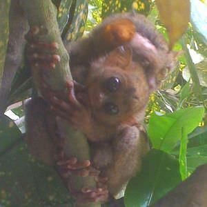 ボホール島ターシャ300_300bohol_tarsier_baby