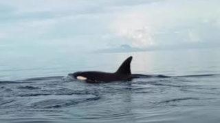 ボホール島シャチ(キラーホエール)出現し、イルカ・ドルフィンも見れてラッキー!